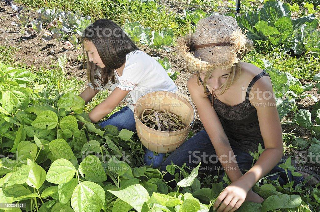 Girls Picking Beans in Garden royalty-free stock photo