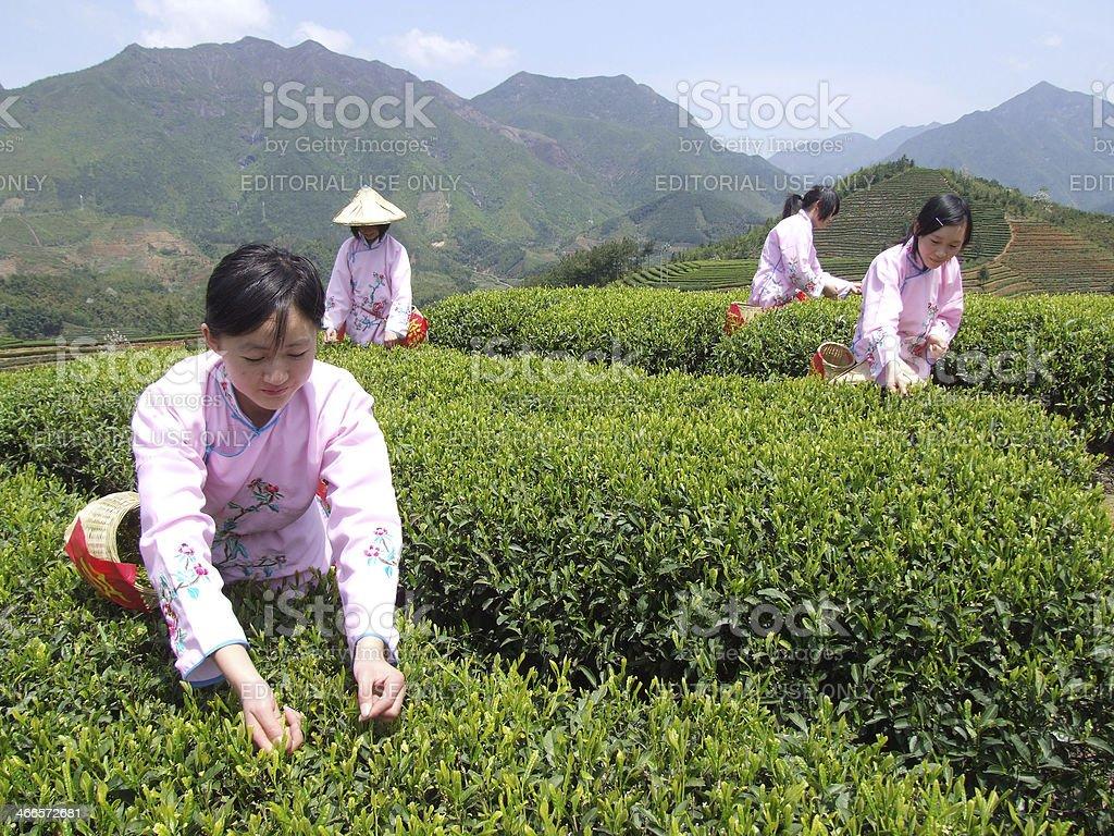 Girls picking tea leaves stock photo
