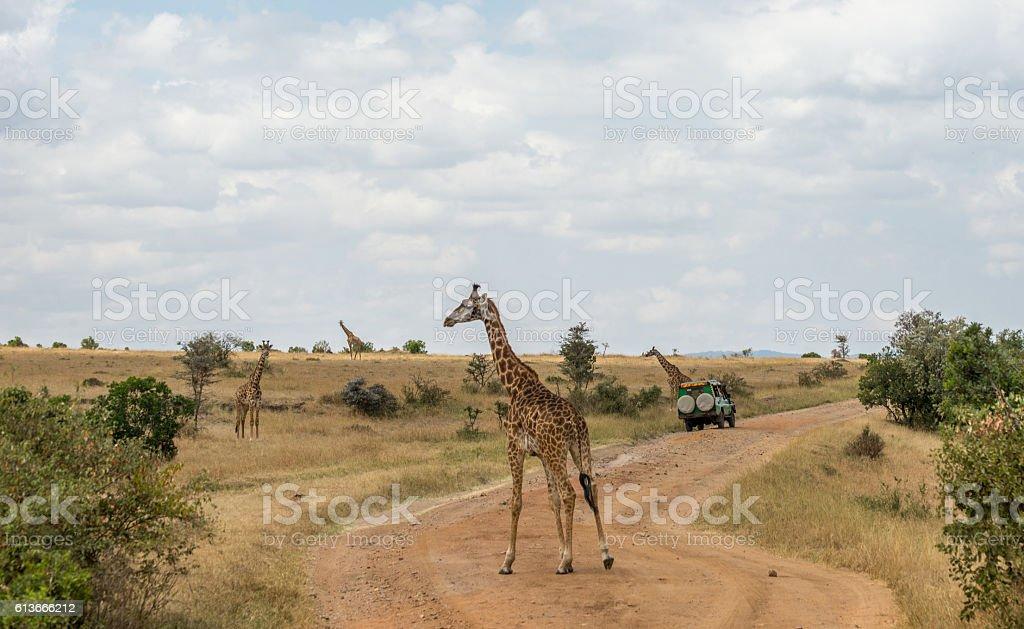 Girrafes in Masai mara stock photo