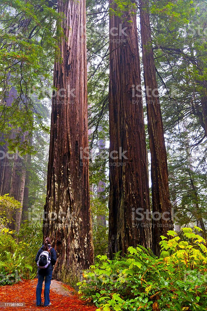 Girt looking at two giant Redwoods stock photo