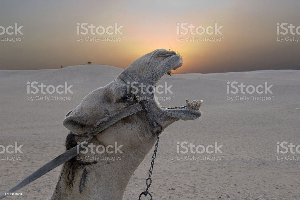 giza camel stock photo
