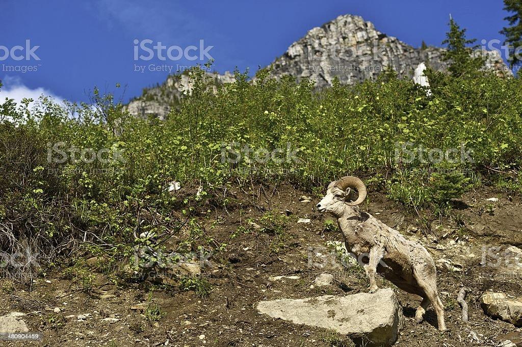 Glacier Bighorn Sheep stock photo