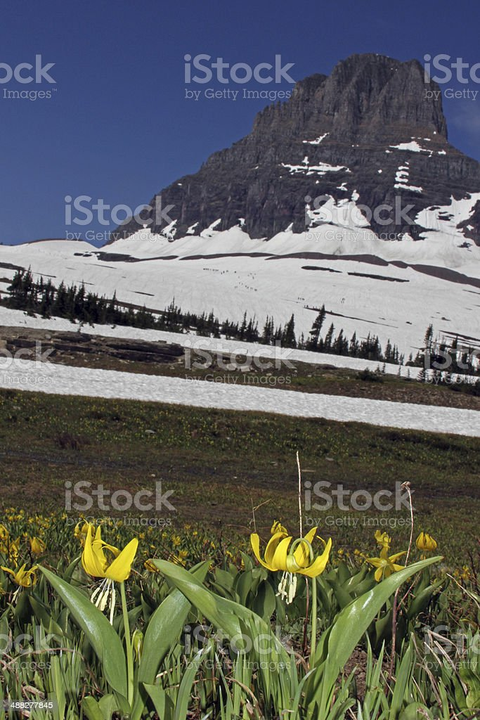 glacier lilies (Erythronium grandiflorum)at Logan Pass, Glacier National Park stock photo