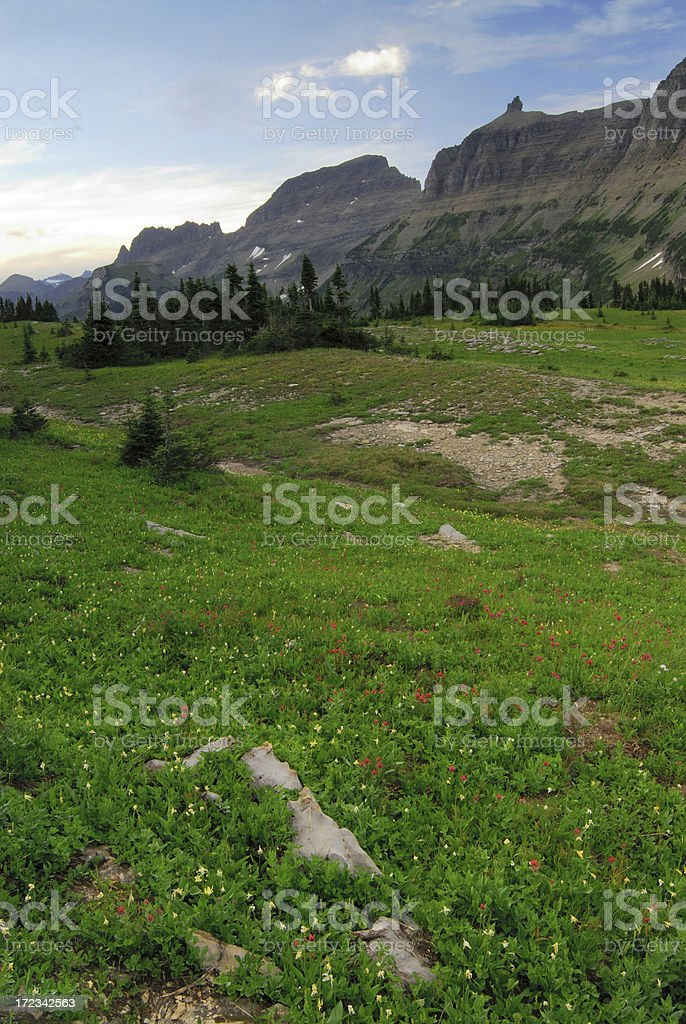 Glacier Lilies at Logan Pass stock photo