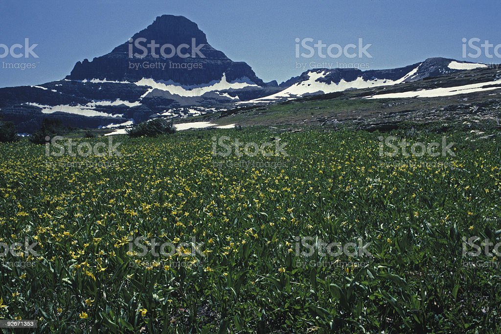 glacier lillies near Logan Pass stock photo