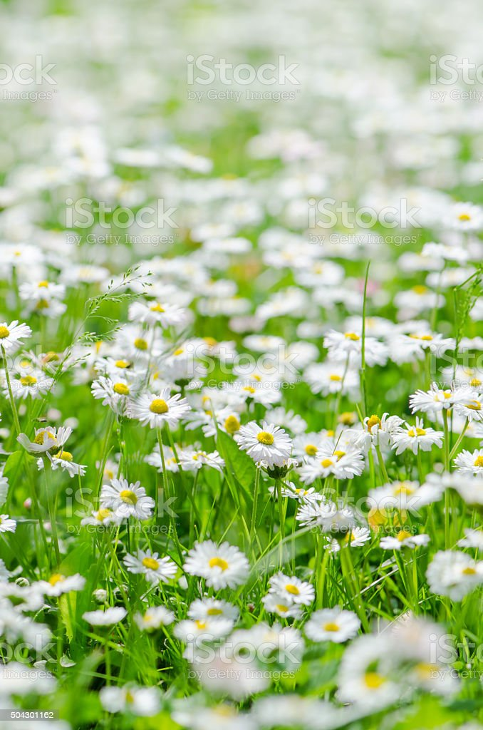 Glade beautiful little daisy, close-up stock photo
