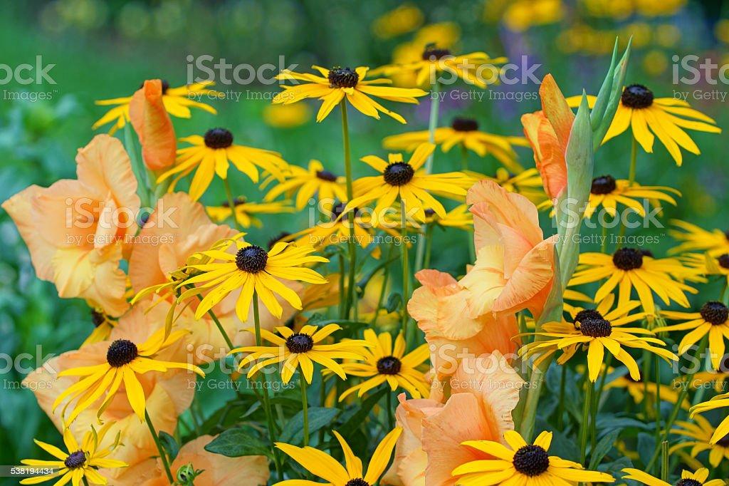 Gladiola and echinacea stock photo