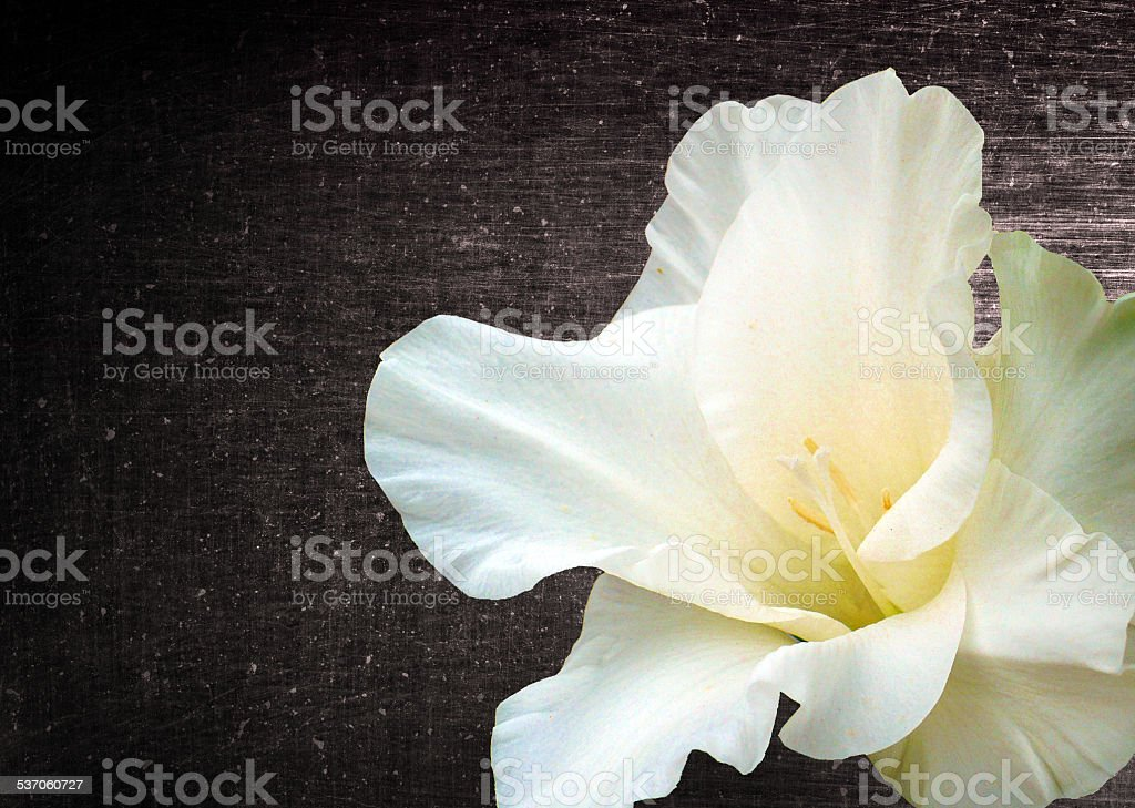 Gladiola flower background stock photo