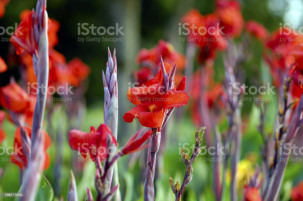 red gladiola stock photo