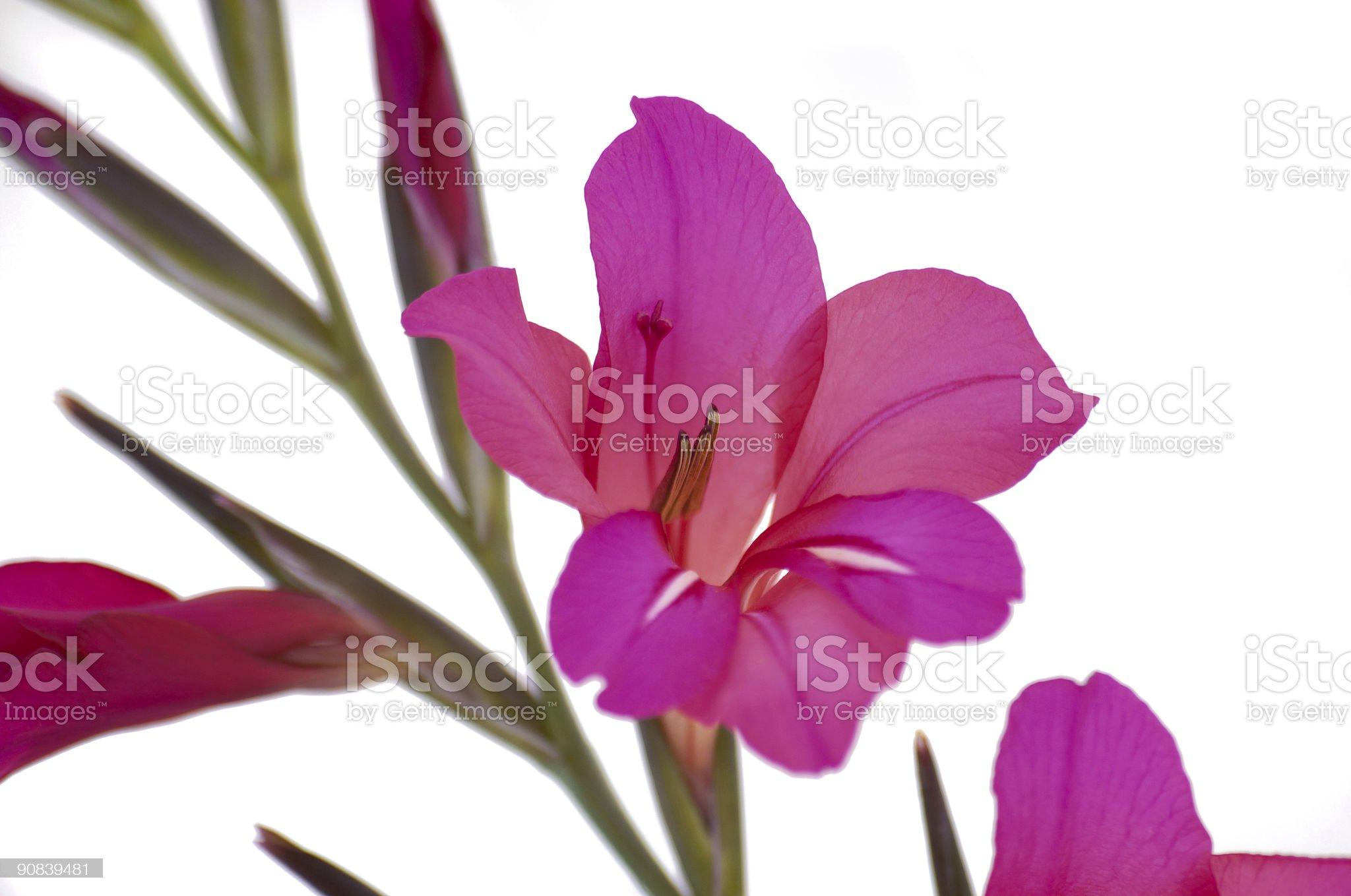 Gladiola royalty-free stock photo