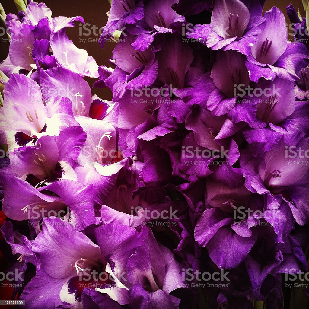 Gladiola Purple Flower stock photo