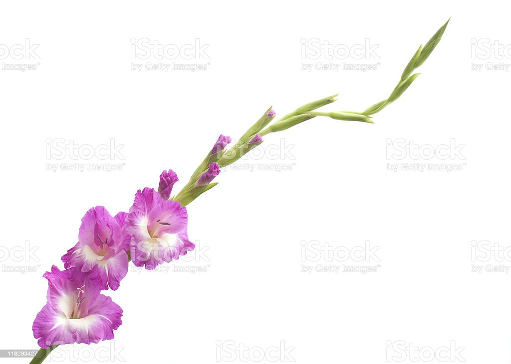 Gladiolas blooming, isolated on white royalty-free stock photo