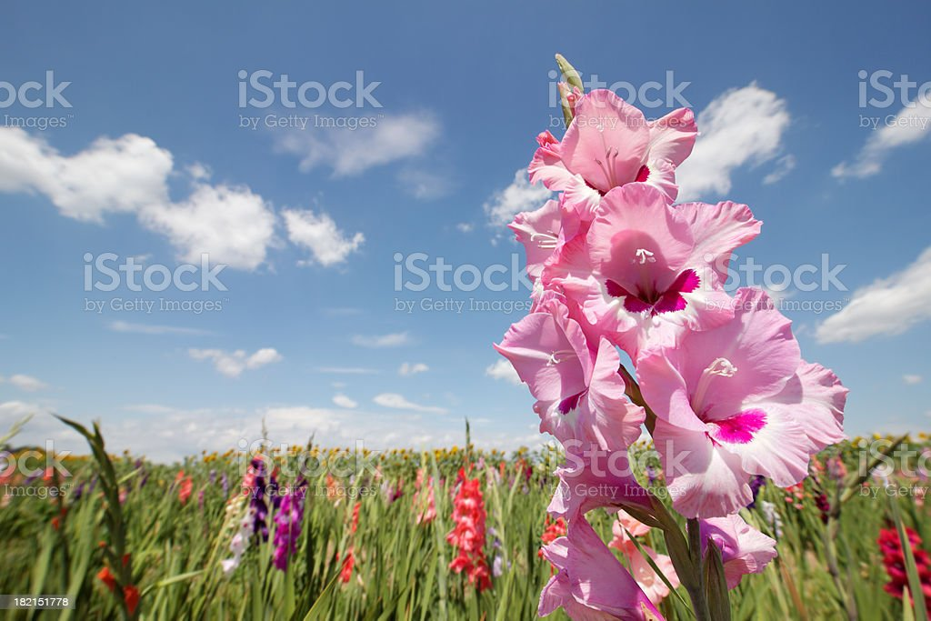 gladiolas in sunshine stock photo