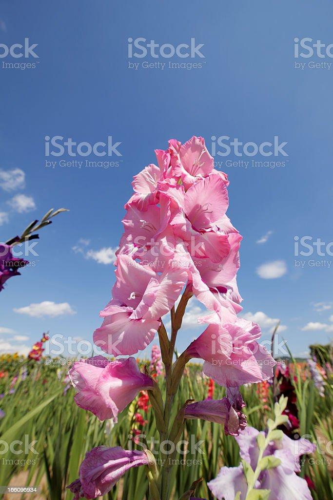 gladiolas stock photo