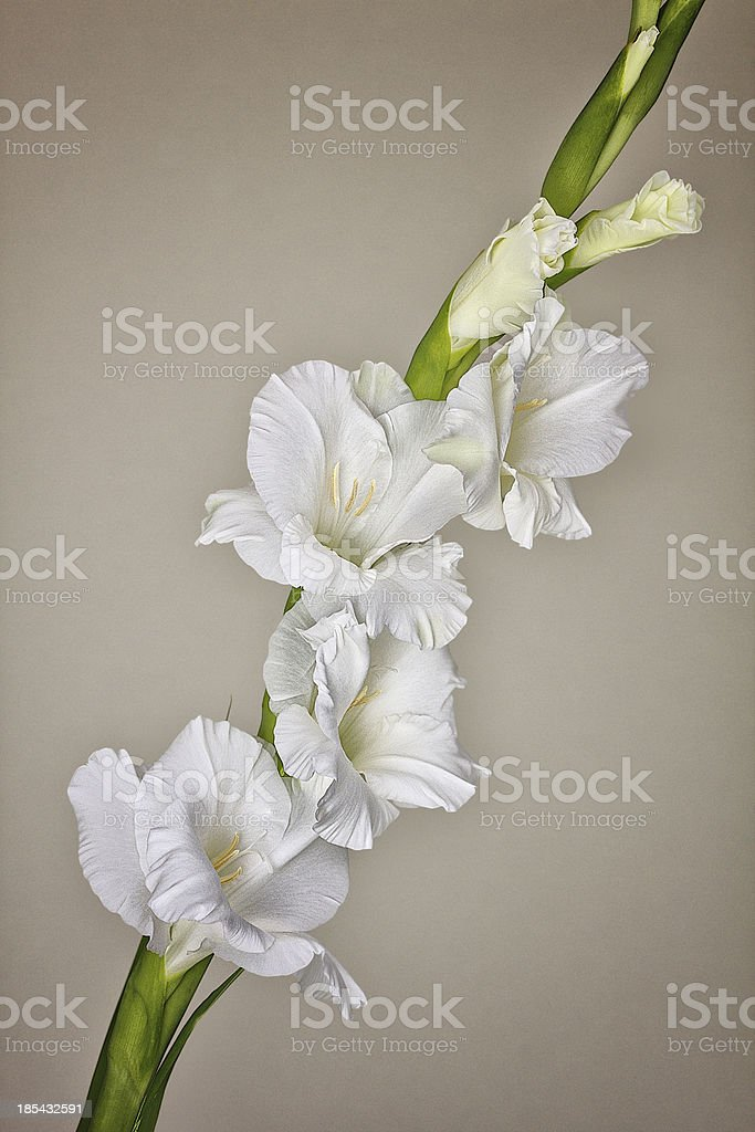 Gladiole stock photo