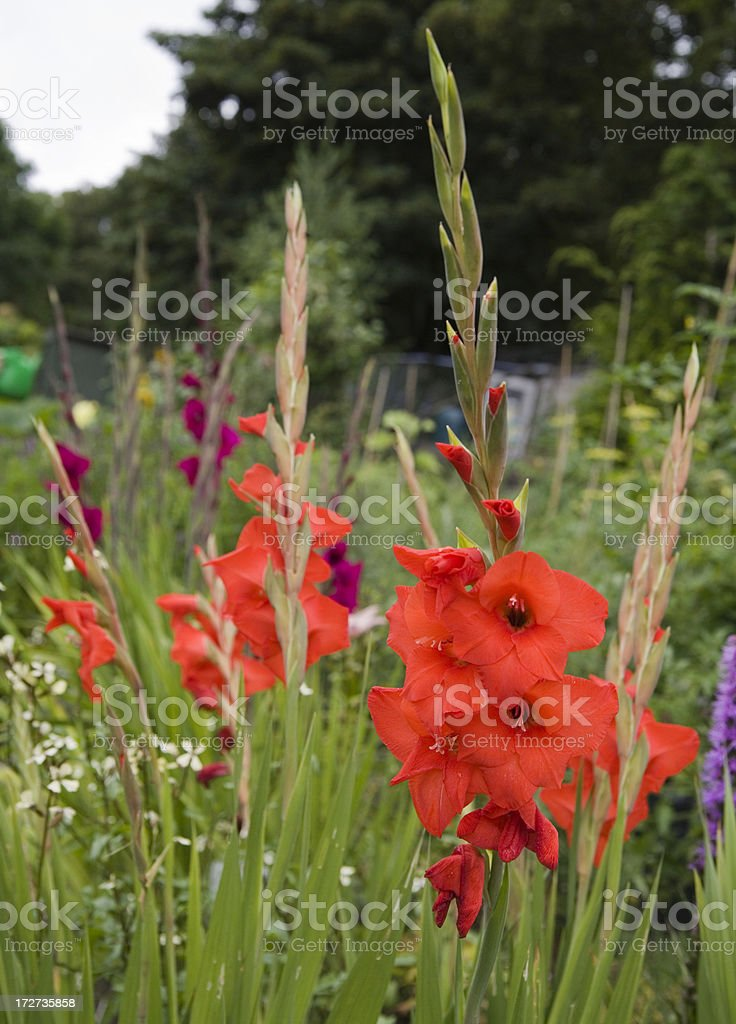 Gladioli on an allotment. royalty-free stock photo