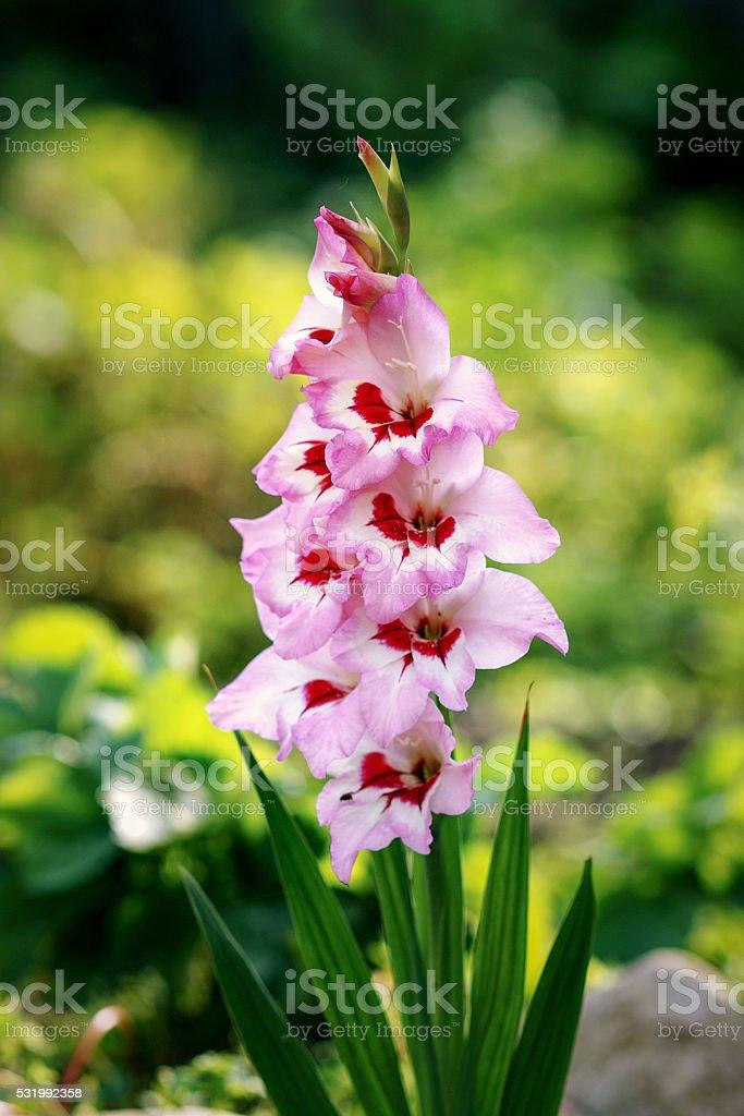 Gladioli stock photo