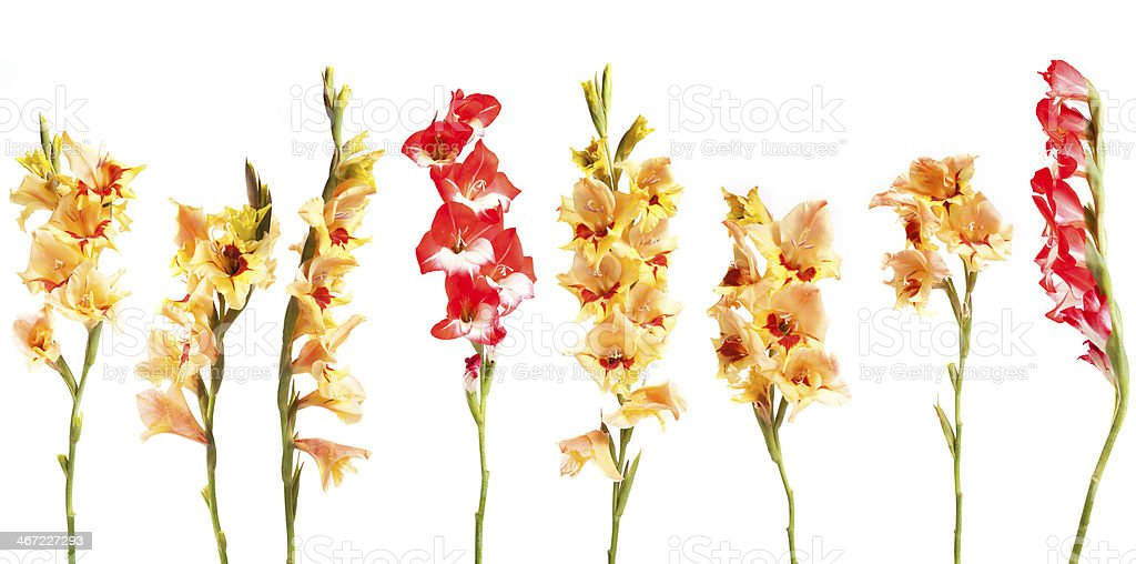 Gladiolius Flowers in a Line stock photo