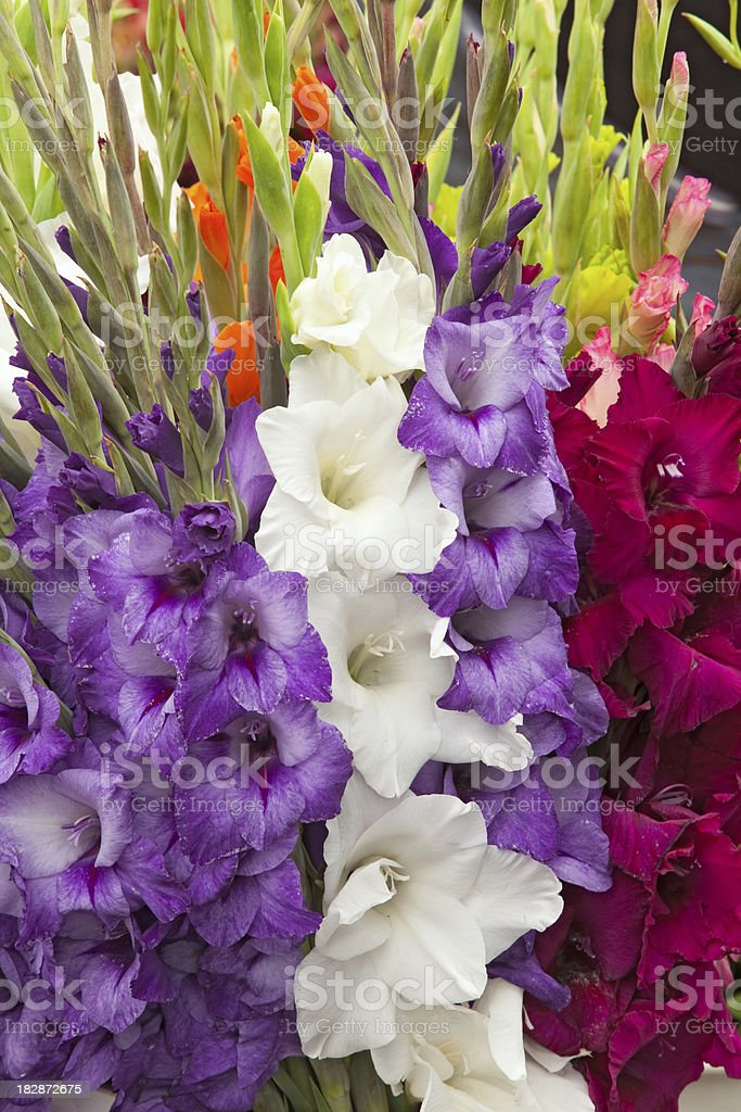Gladiolus Blooms royalty-free stock photo
