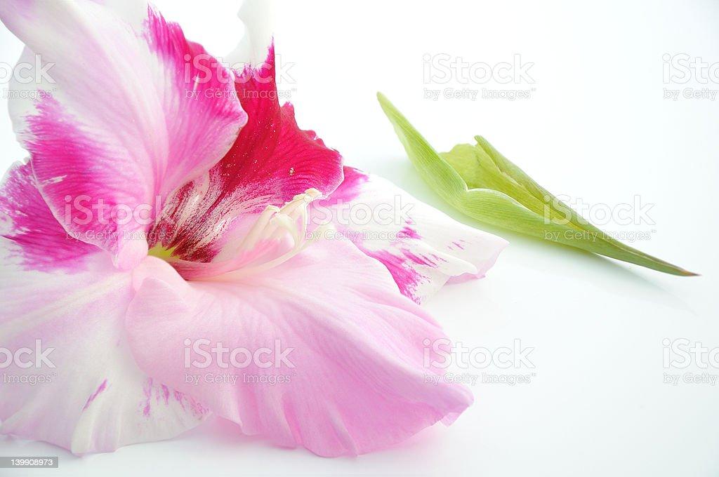 Gladiolus bud royalty-free stock photo