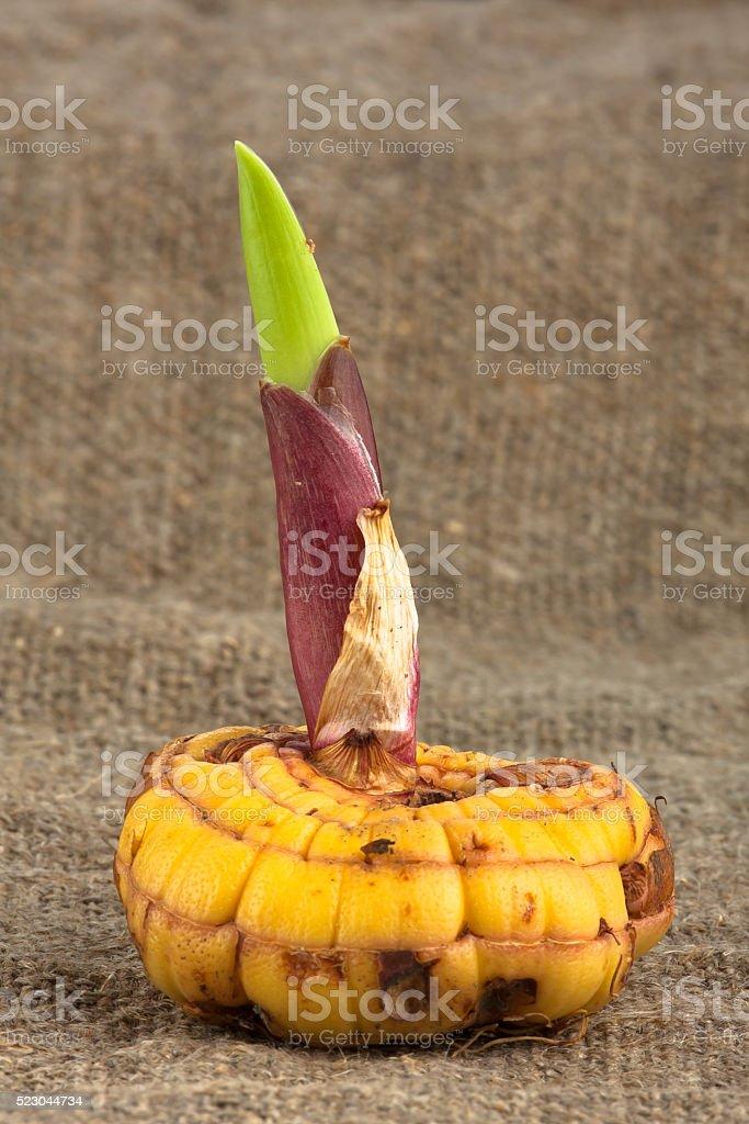 gladiolus bulb stock photo