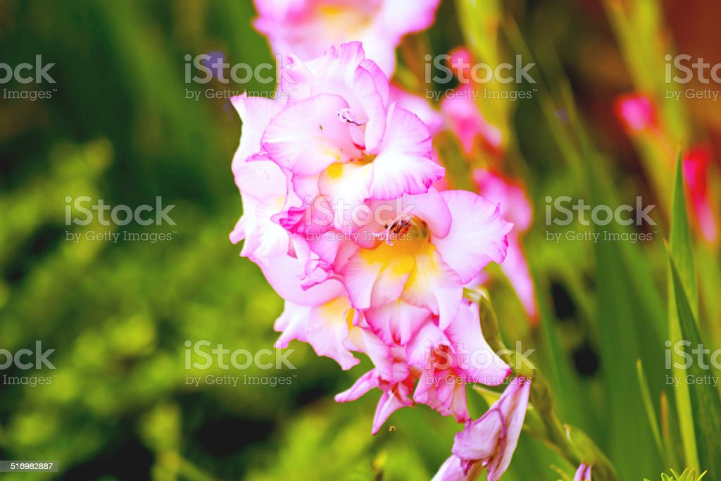 Gladiolus- color pink stock photo