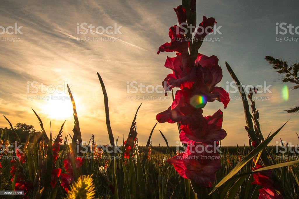 Gladiolus field at the sunset stock photo