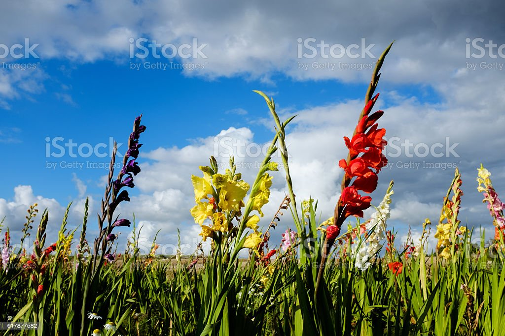 Gladiolus field in Denmark stock photo