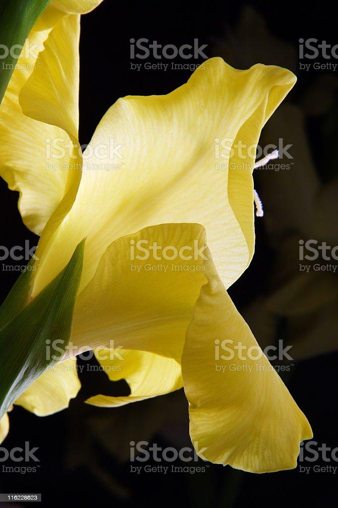 Gladiolus Flower Blossom Iridaceae Petals royalty-free stock photo