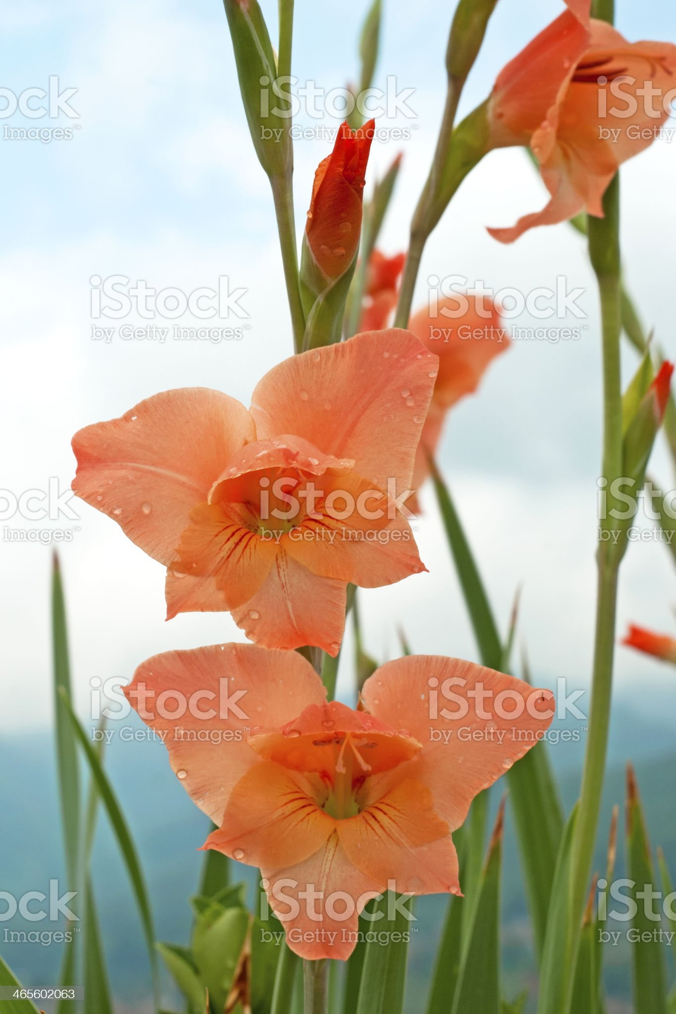 Gladiolus Flower Close-up royalty-free stock photo