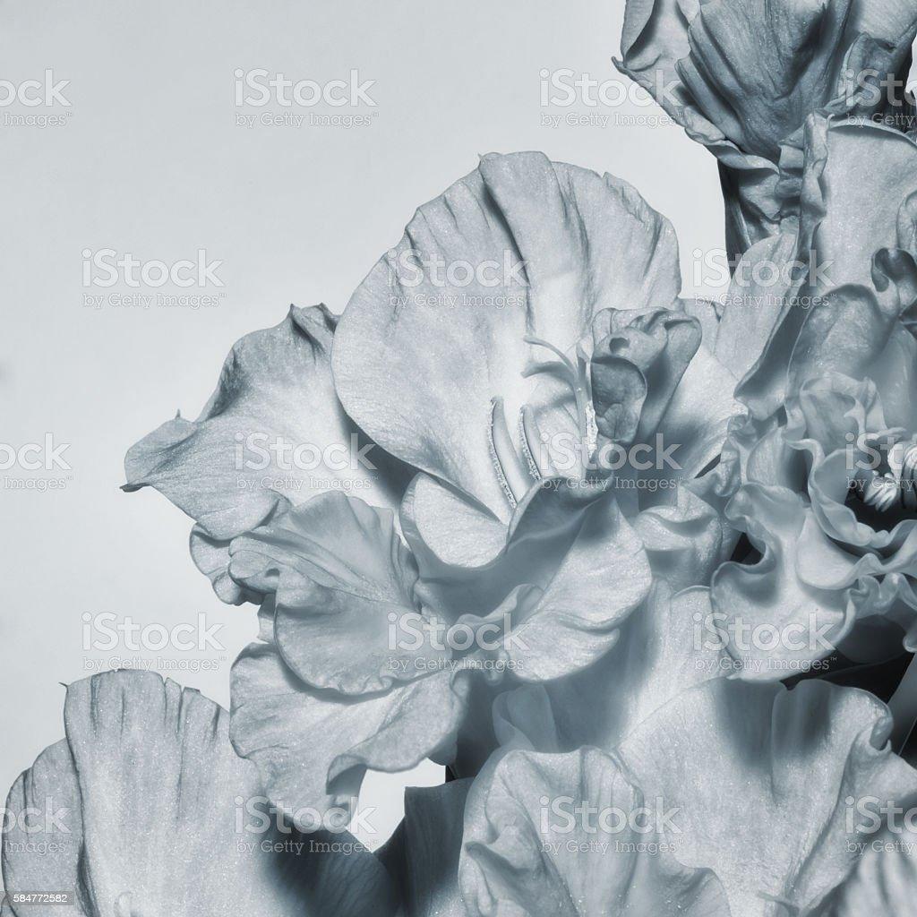 Gladiolus flower closeup stock photo