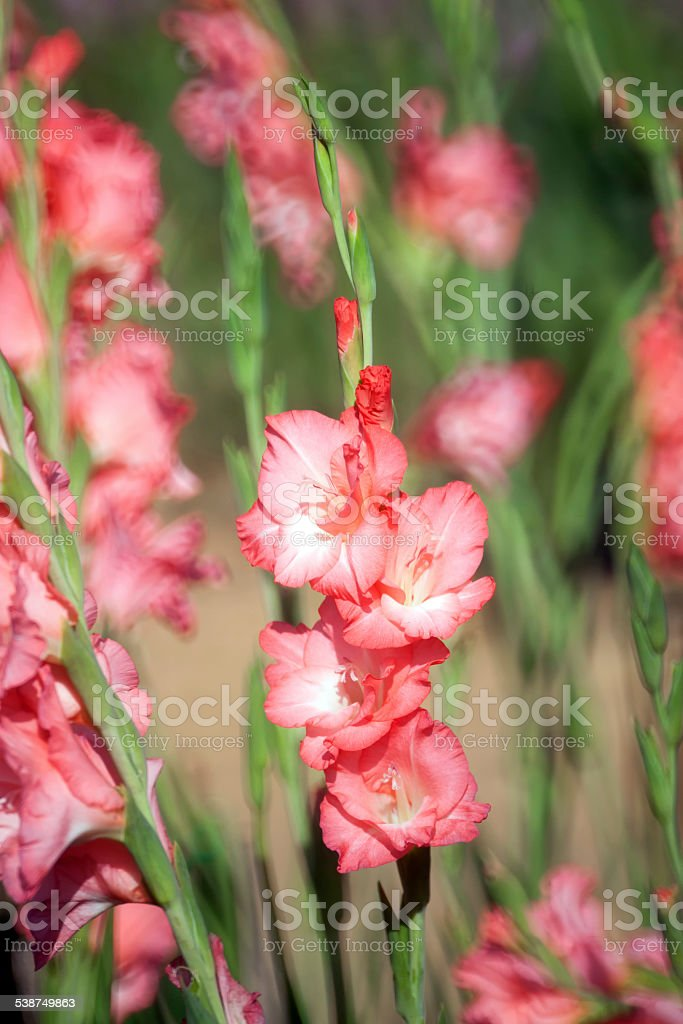 Gladiolus flower in the garden stock photo
