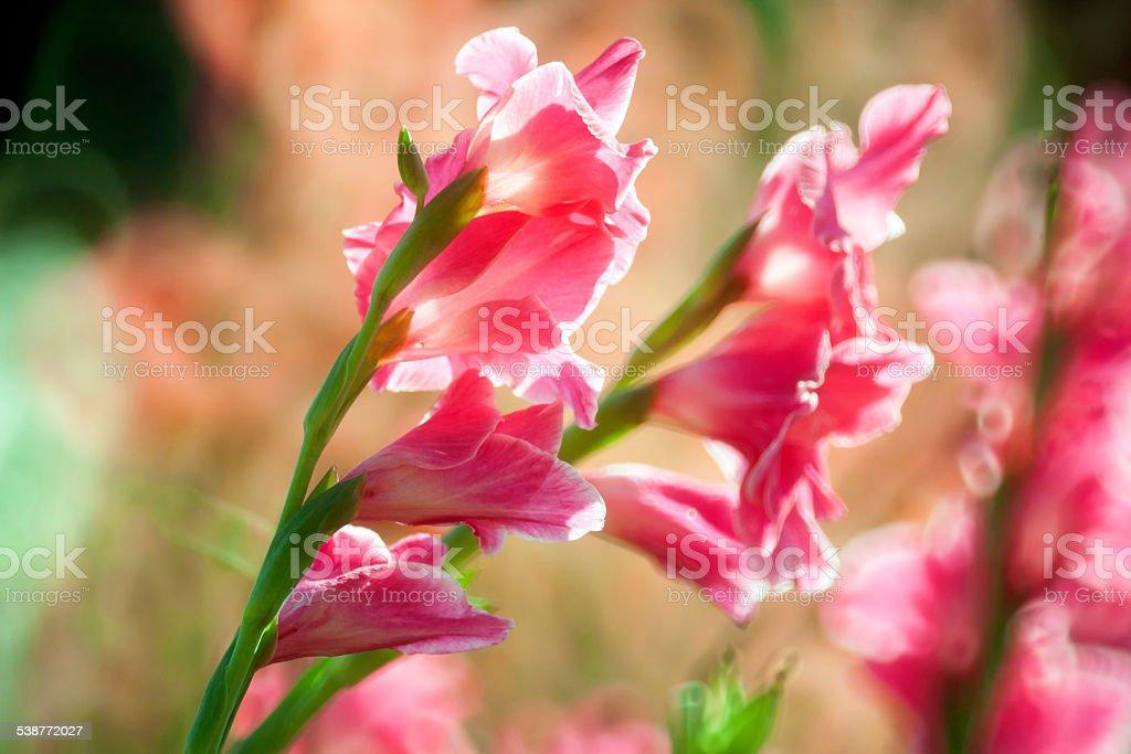 Gladiolus flower in the garden stock photo