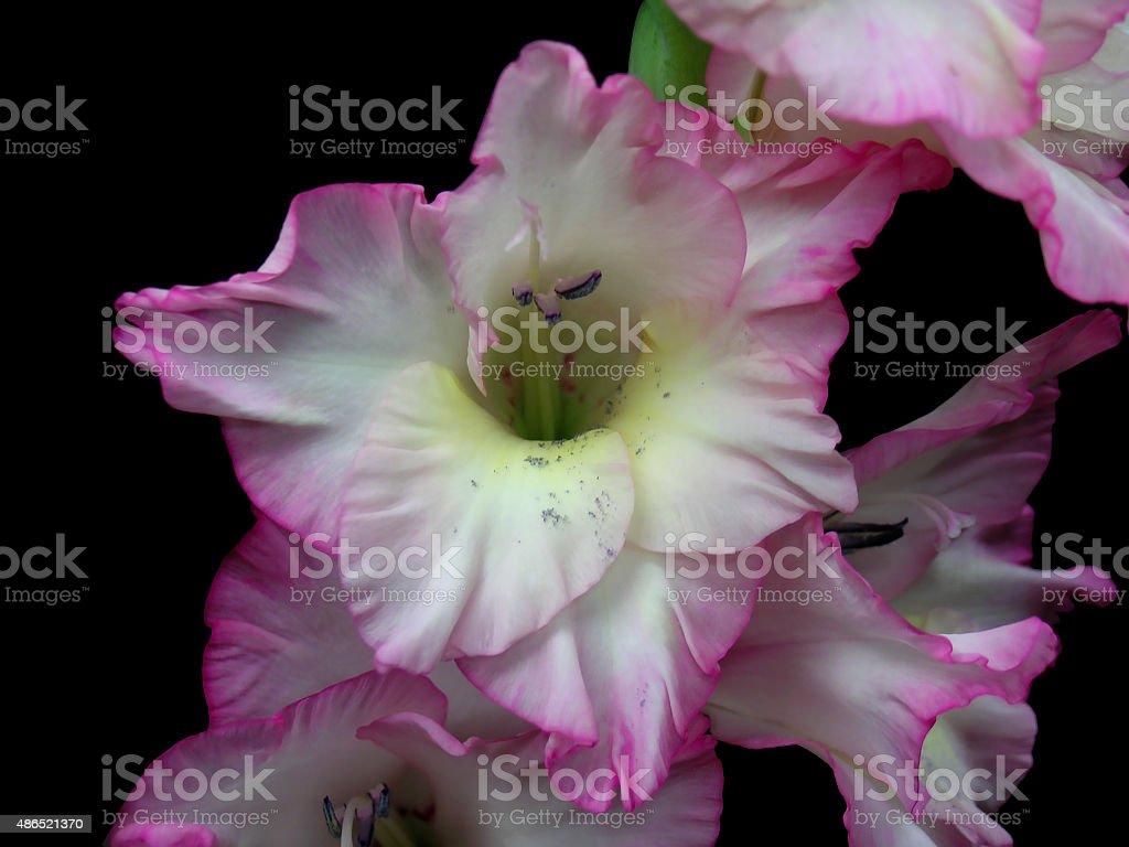 Gladiolus flower isolated stock photo