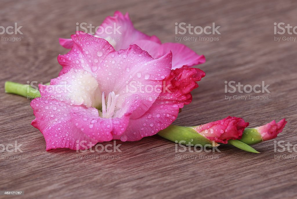 Gladiolus flower of pink color stock photo