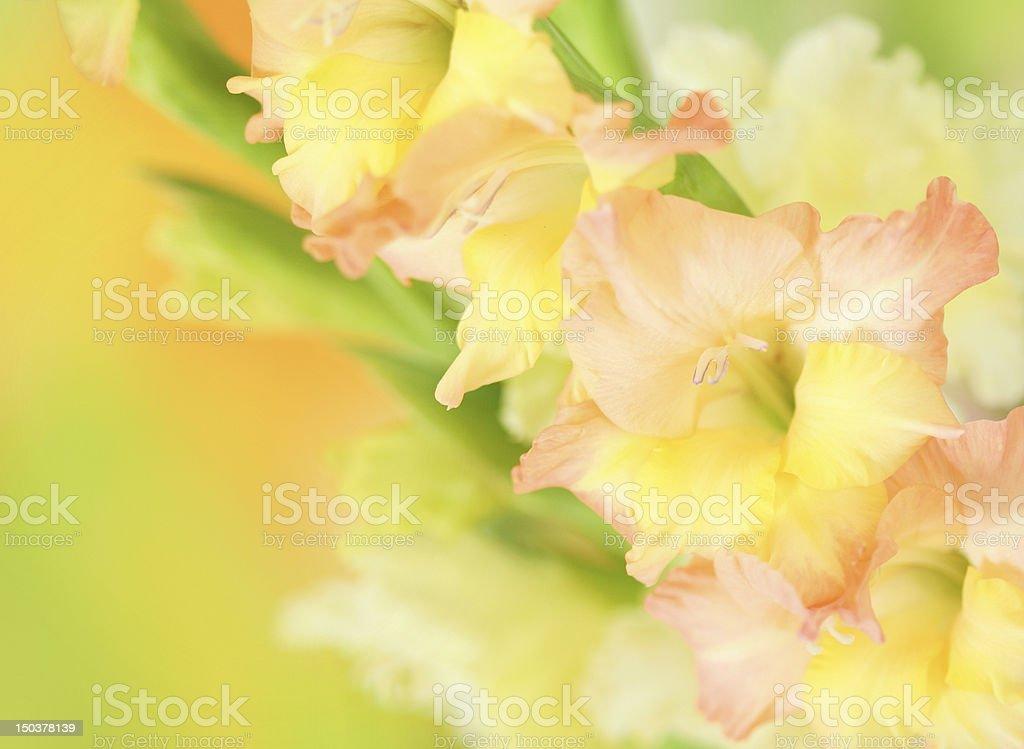 gladiolus flower on colorful background stock photo