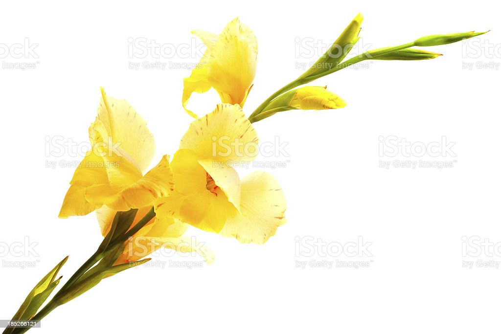 Gladiolus flower royalty-free stock photo