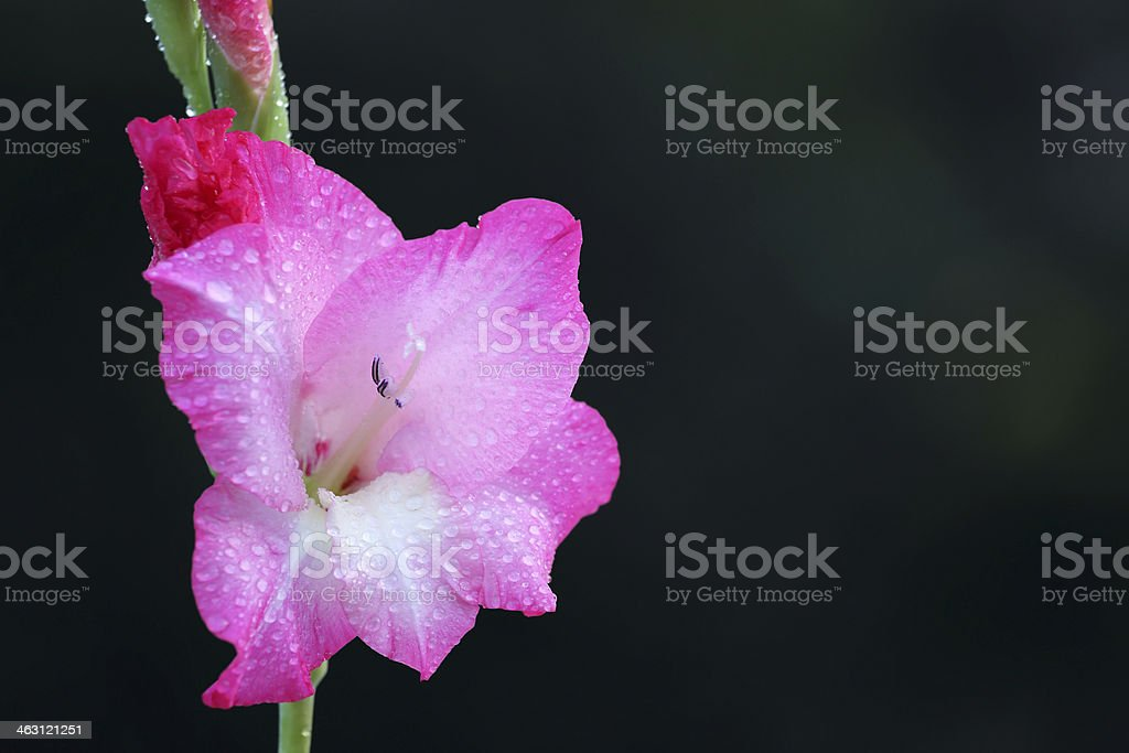 Gladiolus flower stock photo