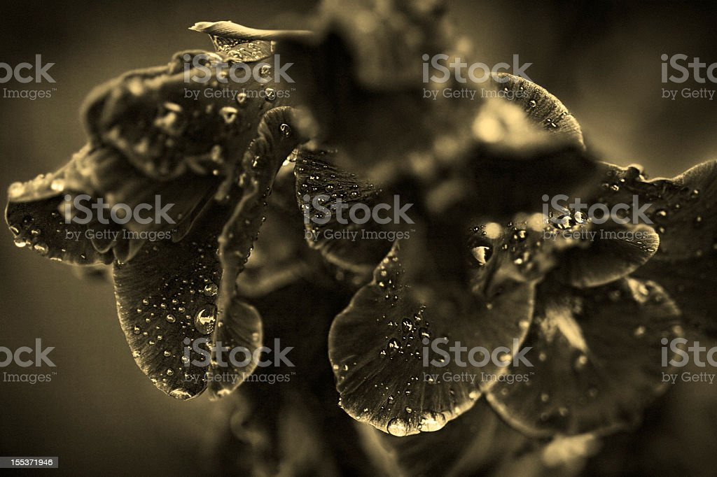 gladiolus flower with raindrops royalty-free stock photo