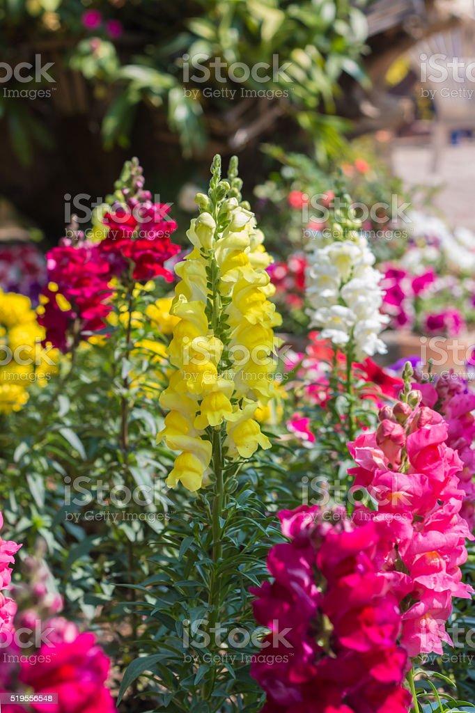 Gladiolus flowers in garden. stock photo