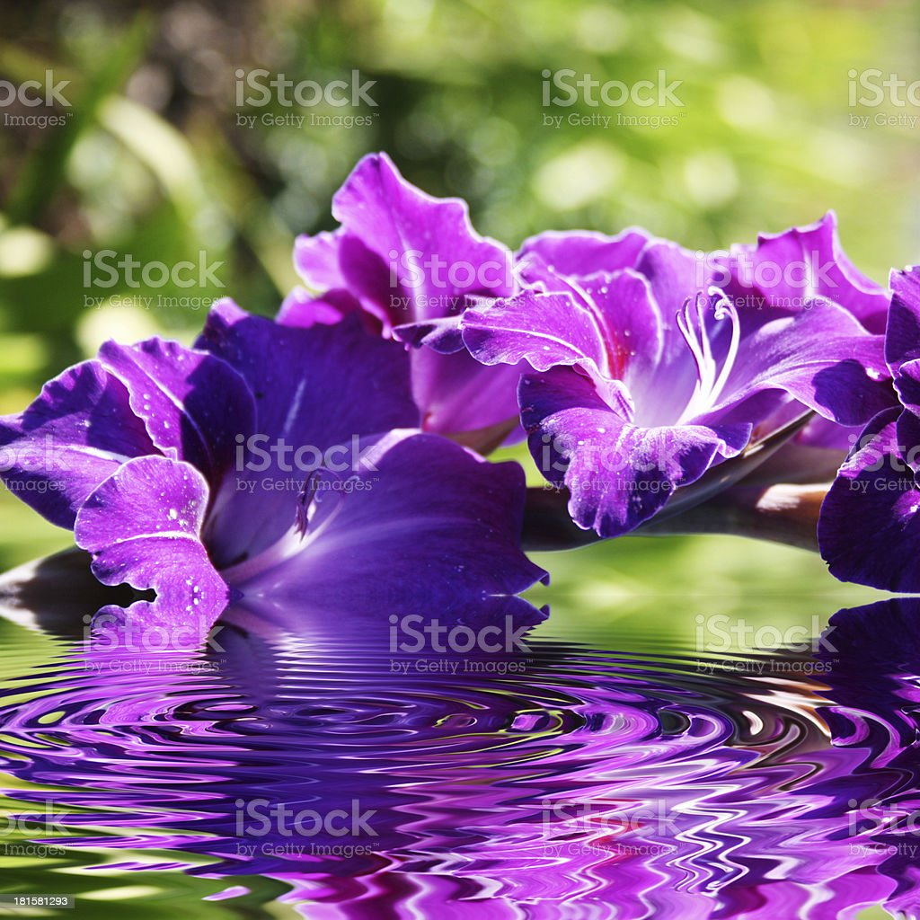 gladiolus flowers in summer royalty-free stock photo