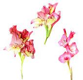 gladiolus fresh pink flower on white background, photo manipulat