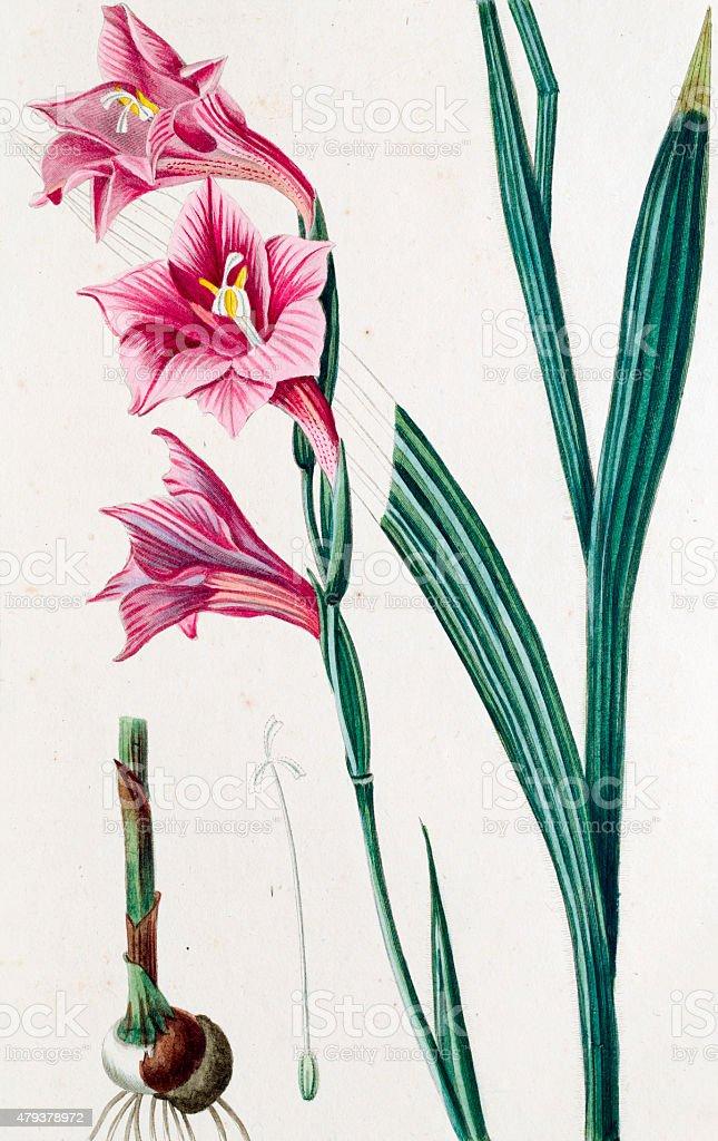 Gladiolus hirsulus Antique Botanical Engraving stock photo