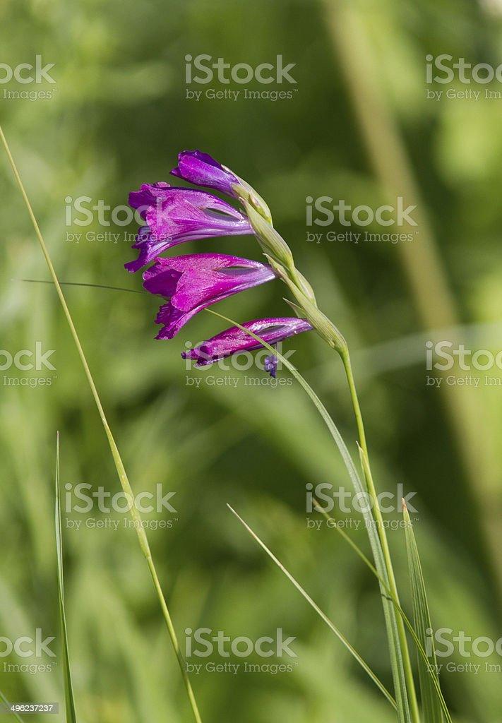 Gladiolus imbricate on spring meadow. stock photo