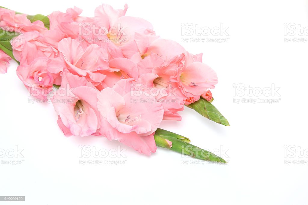 Gladiolus in a white background stock photo