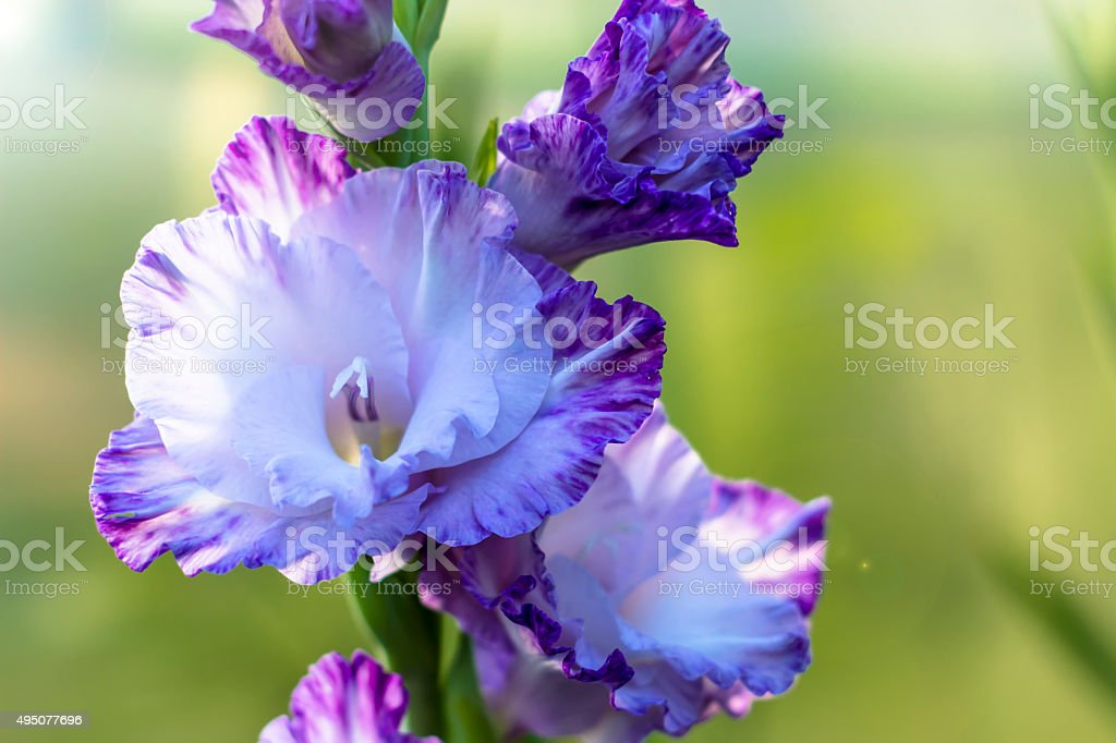 gladiolus in garden close up stock photo
