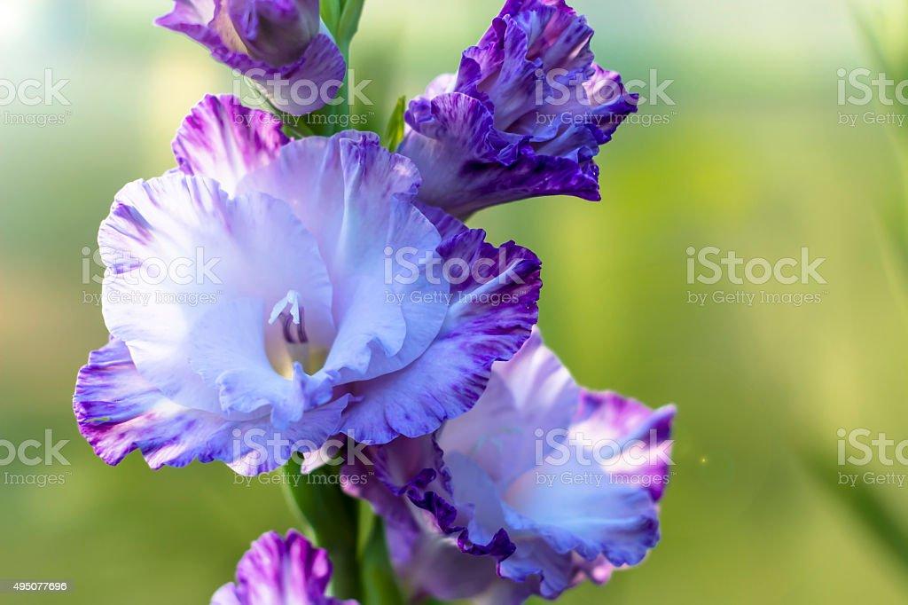 gladiolus in garden close up stock photo