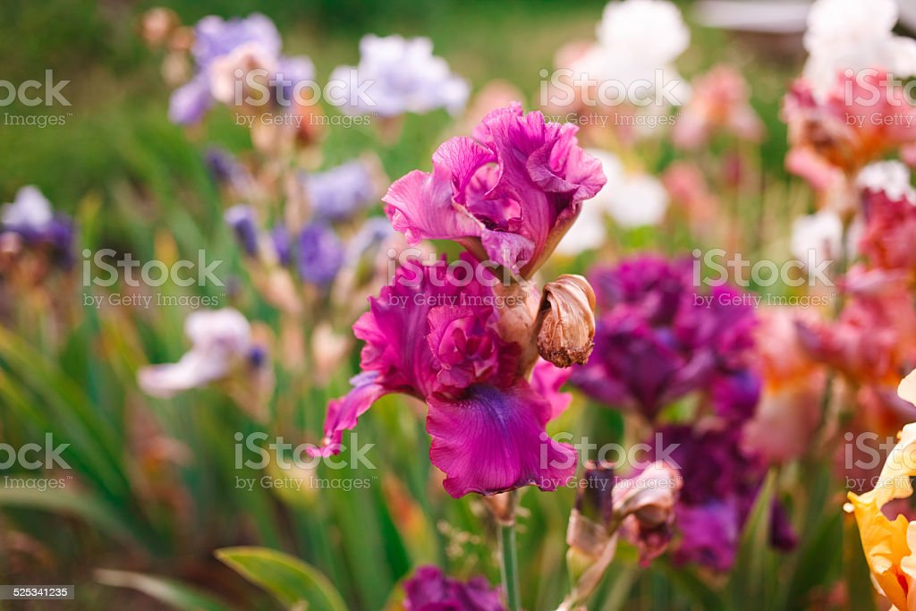Gladiolus in perennial garden on sunny day stock photo