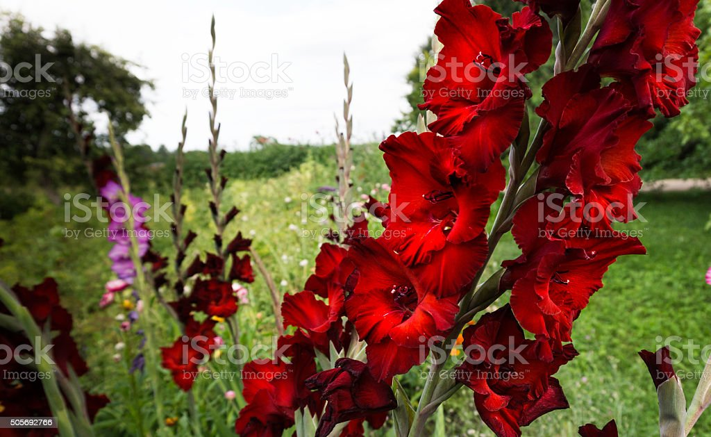 Gladiolus Iris Family Flower stock photo