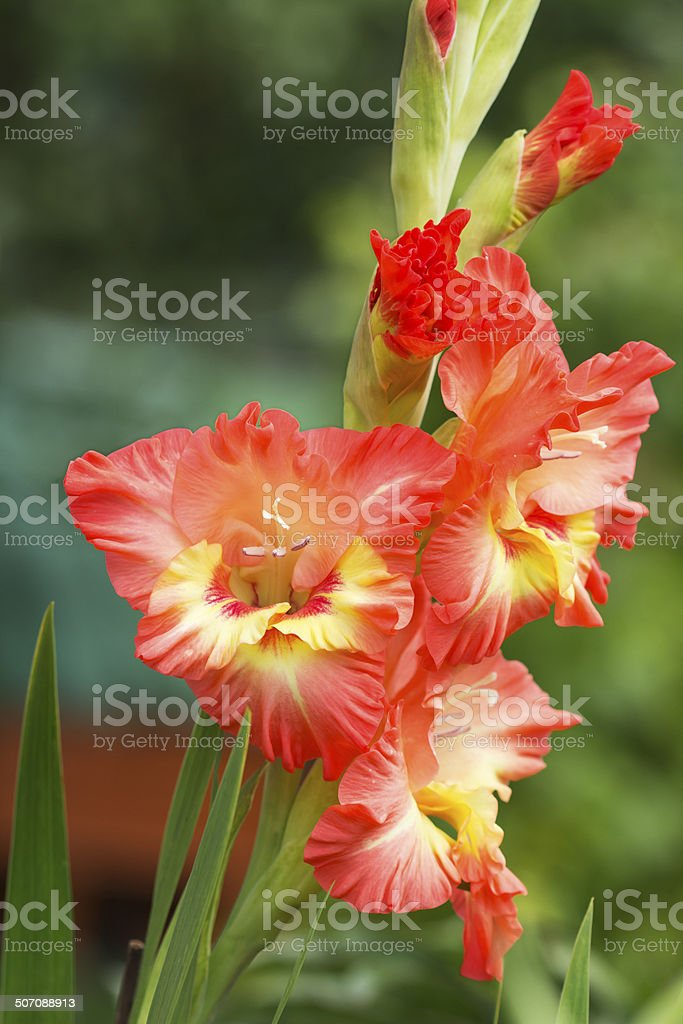 Gladiolus is a symbol of loyalty. royalty-free stock photo